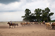 A Gaucho rounding up the horses on horseback, at a  Gaucho Estancia In Lujan, Argentina.