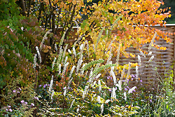 Cimicifuga racemosa syn. Actaea racemosa growing in front of Cercidiphyllum at Glebe Cottage