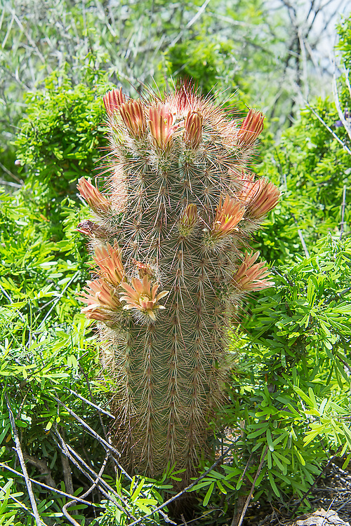 The nylon hedgehog cactus (Echinocereus viridiflorus var. cylindricus) is native subspecies of the green-flowering hedgehog cactus, and is found in a narrow band stretching from the Big Bend of Texas and Mexico to southern New Mexico, and is mainly found in the Franklin Mountains near El Paso, Texas. It has distinct creamy orange flowers and shows extreme variability in spine color: white, yellow, brown, reddish, black. Some plants have only short radials while other have a variable number of centrals. This one was photographed in the Big Bend National Park near the Rio Grande.