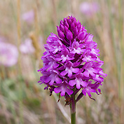 Pyramidal orchid, Sandwich & Pegwell bay Nature Reserve.