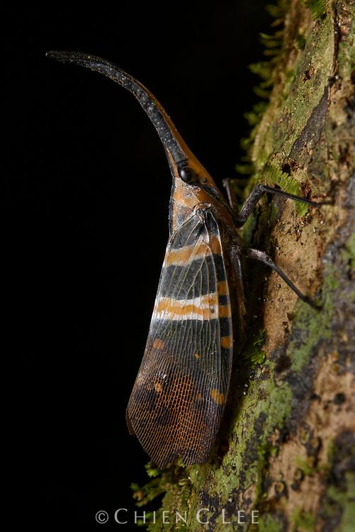 Lanternfly (Pyrops hobbyi). Mulu National Park, Sarawak, Malaysia (Borneo).
