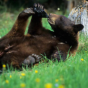 Black Bear, (Ursus americanus) Montana. Yearling playing with feet in meadow. Summer. Captive Animal.
