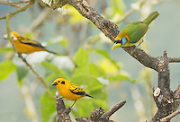 Female red-headed barbet, Eubucco bourcierii, and two golden tanagers, Tangara arthus goodsoni. Tandayapa Valley, Ecuador