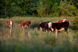 UK ENGLAND WILTSHIRE 26JUN08 - Cattle graze near the river Kennet in rural Wiltshire, western England...jre/Photo by Jiri Rezac / WWF UK..© Jiri Rezac 2008..Contact: +44 (0) 7050 110 417.Mobile:  +44 (0) 7801 337 683.Office:  +44 (0) 20 8968 9635..Email:   jiri@jirirezac.com.Web:     www.jirirezac.com..© All images Jiri Rezac 2008 - All rights reserved.