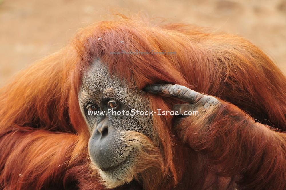 crazy Orangutan, Pongo pygmaeus close up