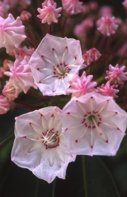 Close-up, Mountain Laurel Blooms, Pennsylvania