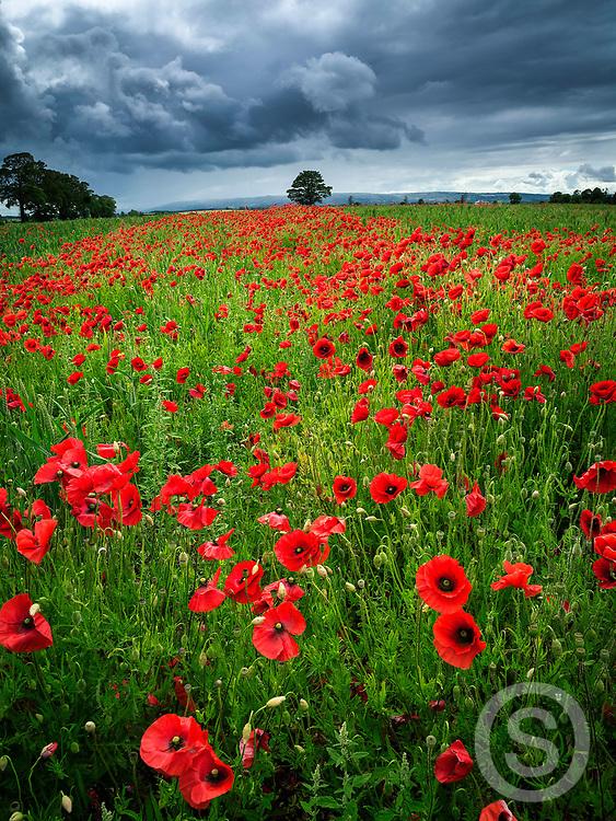 Photographer: Chris Hill, Poppy Field, County Kildare