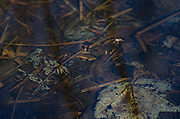 A small spider skims along the calm surface of a slow-moving stream.