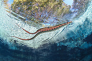 Brown Water snake<br /> <br /> Isaac Szabo/Engbretson Underwater Photography