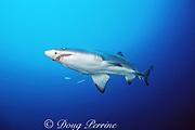 sand tiger shark, Carcharias taurus, wreck of the Caribsea, North Carolina ( Western Atlantic Ocean )