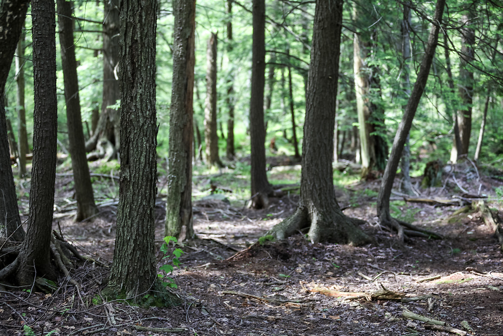 Woodland forest in Pennsylvania's Ricketts Glen State Park.