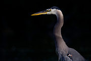 Stock photo of a great blue heron in Colorado.