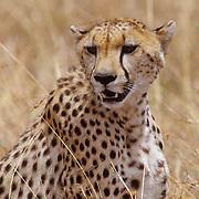 Cheetah, (Acinonyx jubatus) Portrait of adult. Serenget Plains. Masai Mara Reserve. Kenya.