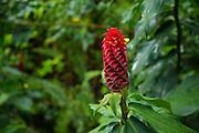 Ginger Flower, Waipio Valley, Hamakua Coast, Island of Hawaii