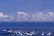 striped dolphins, Stenella coeruleoalba, Azores Islands, Portugal ( Atlantic )