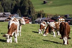 """THEMENBILD - Milch, die unter der populären Hofer-Marke """"Zurück zum Ursprung"""" verkauft wird, muss künftig ausschließlich von Kühen stammen, die 365 Tage im Jahr Auslauf haben. Das bedingt entweder einen Laufstall, oder – bei sogenannter """"Anbindehaltung"""" einen täglichen Spaziergang für das Rindvieh, der nur bei sehr extremen Wetterbedingungen ausfallen darf. hier im Bild Kälber auf Weidefläche. Kals, Montag 8. Oktober 2018 // Milk sold under the popular Hofer brand """"Back to Origin"""" will in future only have to come from cows that have an outlet 365 days a year. This requires either a playpen, or - in so-called """"tethering"""" a daily walk for the cattle, which may fail only in very extreme weather conditions. Picture shows Calves on pasture. Kals, Austria on Monday, October 8, 2018. EXPA Pictures © 2018, PhotoCredit: EXPA/ Johann Groder"""