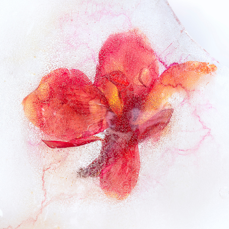 """Iced flowers - wildflowers frozen in ice complete with bubbles and imperfections. <br /> <br /> 14"""" x 14""""<br /> See Pricing page for details. <br /> <br /> Please contact me for custom sizes and print options including canvas wraps, metal prints, assorted paper options, etc. <br /> <br /> I enjoy working with buyers to help them with all their home and commercial wall art needs."""