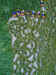 Sept. 28, 2017 - Huzhou, China - An aerial view of local villagers picking water chestnuts in Xinghuo Village of Wuxing District in Huzhou, east China's Zhejiang Province.  (Credit Image: © Xu Yu/Xinhua via ZUMA Wire)