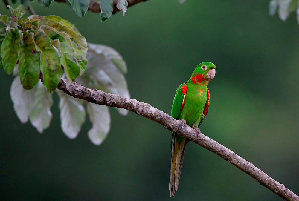 Sao Roque de Minas_MG, Brasil...Parque Nacional da Serra da Canastra,na foto Maracana psitacideo...The Serra da Canastra National Park, in this photo the psitaciforme bird...Foto: JOAO MARCOS ROSA / NITRO..