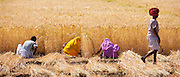 Barley crop harvested by local agricultural workers and farmer wearing turban in fields at Nimaj, Rajasthan, India