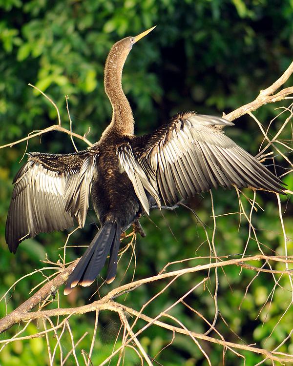 An Anhinga (Anhinga anhinga) dries its wings on a riverside tree branch.   Tortuguero National Park, Limon Province, Costa Rica. 17Nov13