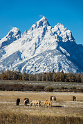 Horses graze idyllically beneath snow-covered Grand Teton, the highest mountain (13,775 feet) in Grand Teton National Park. Wyoming, USA.