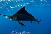 Atlantic sailfish, Istiophorus albicans, with sardine in mouth, taken from bait ball of Spanish sardines (aka gilt sardine, pilchard, or round sardinella ), Sardinella aurita, off Yucatan Peninsula, Mexico ( Caribbean Sea ) #2 in sequence of two images