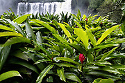 A ginger plant blossoms at the massive Eyipantla Falls where the Catemaco River drops 50-meters to the lower jungle near San Andres Tuxtlas, Veracruz, Mexico. The waterfall is 40-meters wide and 50-meters tall.