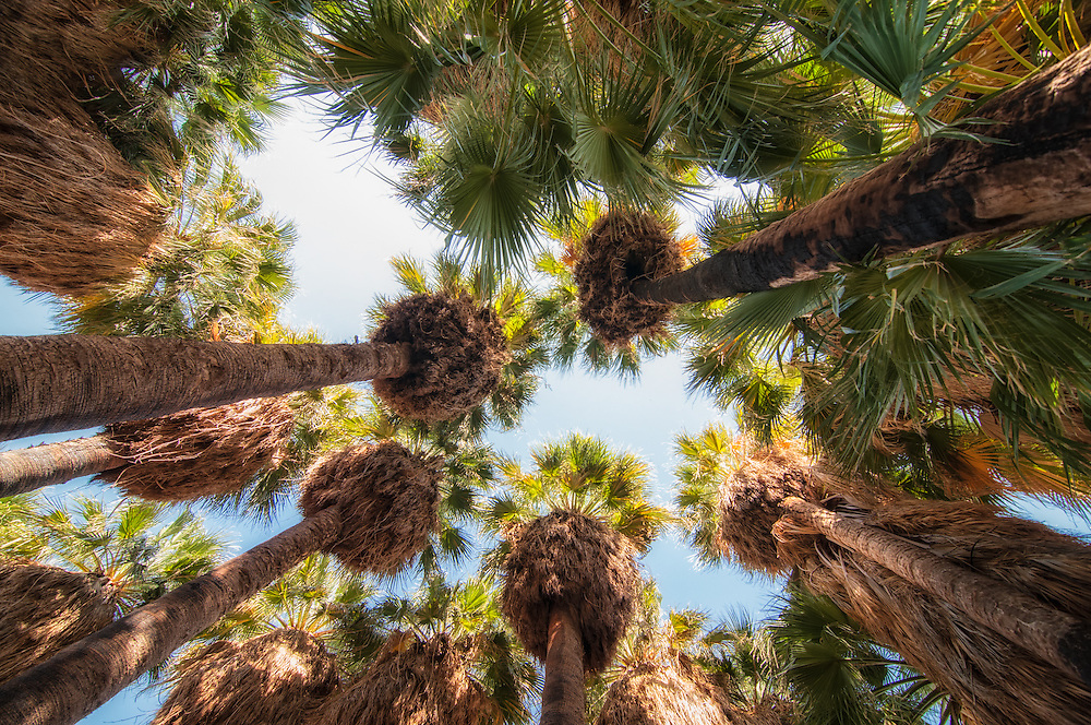 View from the ground in the middle of a native stand of desert fan palms in the Coachella Valley of Southern California. These towering trees are the only palms native to the western United States, and are also the largest native palm in the contiguous United States. Virtually unchanged for millennia, these living fossils provide shade from the unrelenting sun for many of the desert inhabitants, as well as the promise of nearby water.