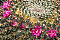 Barrel cactus with tiny red flowers. Indoor spring in New Jersey. Image taken with a Nikon Df camera and 105 mm f/2.8 VR macro lens (ISO 100, 105 mm, f/32, 1/125 sec) + SB-910 flash.