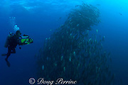Howard Hall films spawning rush of dog snappers, Lutjanus jocu, in spawning aggregation, Gladden Spit & Silk Cayes Marine Reserve, off Placencia, Belize, Central America ( Caribbean )