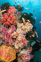 Anthias and Blennies Feed Amongst Color Corals..Shot in Indonesia..