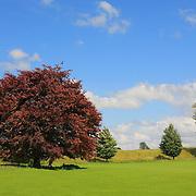 Auburn Red Tree - Avebury, UK