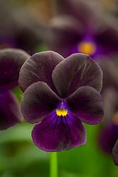 Viola 'Prunella'