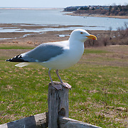 Seagull sitting on a fence in Little Pleasant Bay, Cape Cod