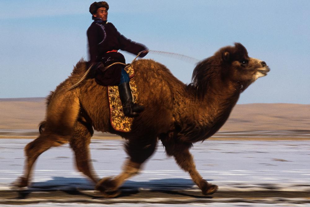 Bactrian camel (Camels bactrians) racing<br /> Gobi Desert<br /> Mongolia