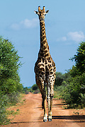 Giraffe (Giraffa camelopardalis) on road<br /> Marakele Private Reserve, Waterberg Biosphere Reserve<br /> Limpopo Province<br /> SOUTH AFRICA<br /> RANGE: Savanna regions in scattered isolated pockets of Sub-Saharan Africa.