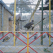 "Vultures at Kabul Zoo. In the civil war the zoo was completely destroyed because it was on the front line. Most of the animals died, the vultures being one of the few exceptions along with the lion which Shah Noori, the zoo manager tells us ""survived by eating humans""."