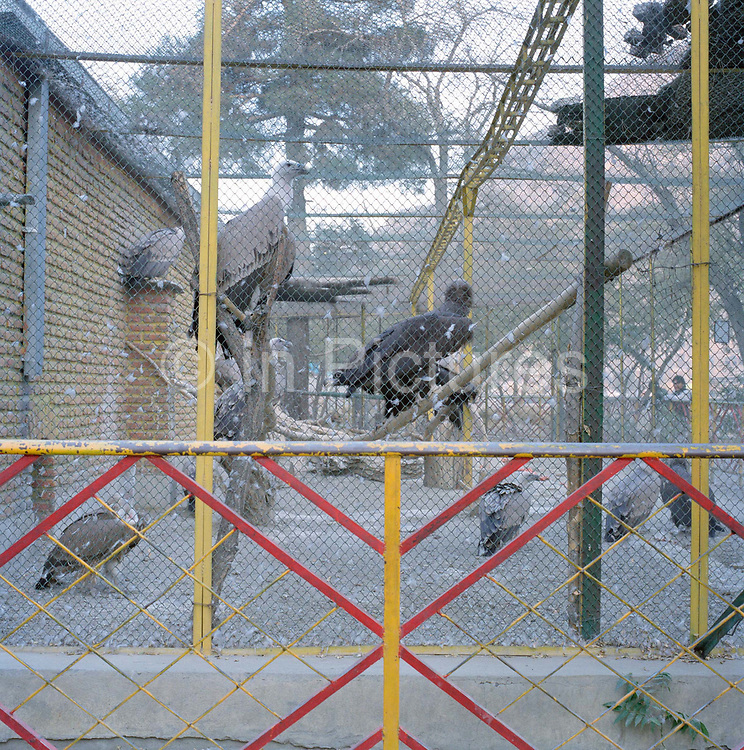 """Vultures at Kabul Zoo. In the civil war the zoo was completely destroyed because it was on the front line. Most of the animals died, the vultures being one of the few exceptions along with the lion which Shah Noori, the zoo manager tells us """"survived by eating humans""""."""