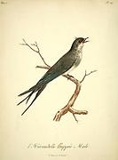 Crested swallow from the Book Histoire naturelle des oiseaux d'Afrique [Natural History of birds of Africa] Volume 5, by Le Vaillant, Francois, 1753-1824; Publish in Paris by Chez J.J. Fuchs, libraire 1799