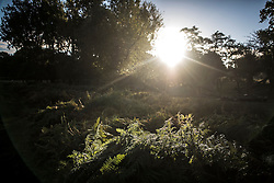 © Licensed to London News Pictures. 09/10/2016. London, UK. Fern catches the sunlight at sunrise in Richmond park on a bright Autumnal morning. Photo credit: Ben Cawthra/LNP