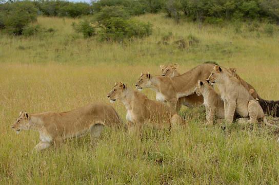 African Lion (Panthera leo) Lion Pride in grass. Masai Mara National Park. Kenya. Africa.
