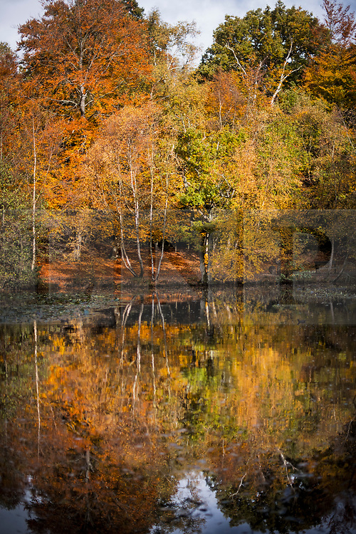 © Licensed to London News Pictures. 22/10/2020. Burnham, UK. Autumnal colours at Burnham Beeches national park and National Nature Reserve in Buckinghamshire, south East England. Photo credit: Ben Cawthra/LNP