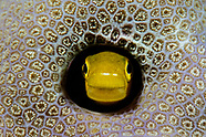 Plagiotremus laudandus (Bicolor Fangblenny)