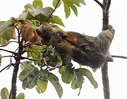 A Three-toed Sloth or Brown-throated Sloth (Bradypus variegatus) feeds on leaves. Tortuguero National Park, Limon Province, Costa Rica. 16Nov13.