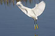 Snowy Egret landing.(Egretta thula).Bolsa Chica Wetlands, California