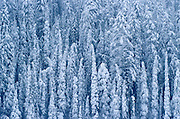 Heavy snowfall on coniferous trees<br /> Kootenay National Park<br /> British Columbia<br /> Canada