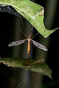 Craneflies (family Tipulidae) mating. Photo from Andasibe, Madagascar.