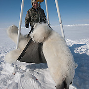 Dr. Steve Amstrup, USGS biologist, weighs a large male polar bear (Ursus maritimus) on the Beaufort Sea ice pack. Kaktovik, Alaska.