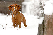 SHOT 4/11/05 5:14:41 AM - Tanner, a one year-old male Vizsla, plays in the snow during an unexpected spring blizzard in Denver, Co. The Vizsla is a dog breed originating in Hungary, which belongs under the FCI group 7. The Hungarian or Magyar Vizsla are sporting dogs and loyal companions, in addition to being the smallest of the all-round pointer-retriever breeds. (Photo by Marc Piscotty / © 2005)